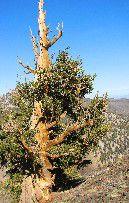 BRISTLECONE-PINE-TREE